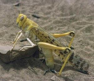 MOA-fight-desert-locust